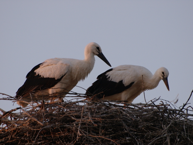storks are holy birds in Ukraine. Ukrainians believe that storks bring peace and wealth to peoples homes